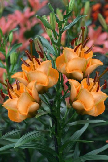Lilium Apricot Fudge