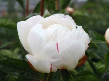 Lactiflora Gardenia