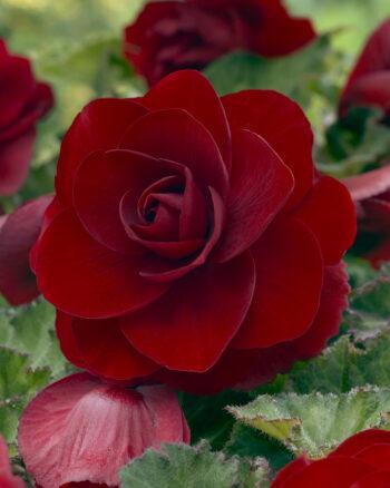 Begonia Dubbel Mörk Röd