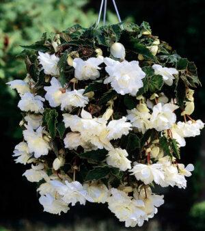 Begonia Cascade Dubbel Vit