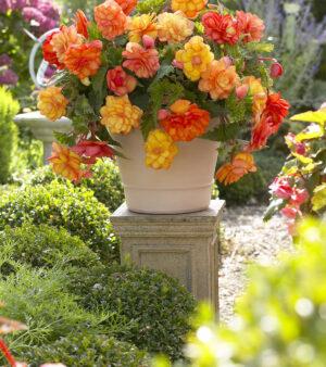 Begonia Odorata Golden Balcony