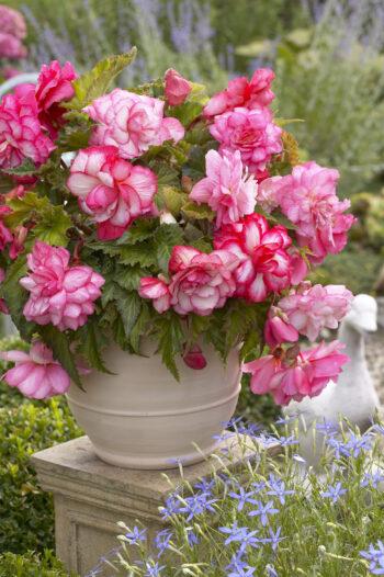 Begonia Odorata Pink Balcony