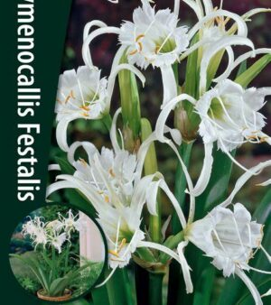 Hymenocallis Festalis (Spindellilja)