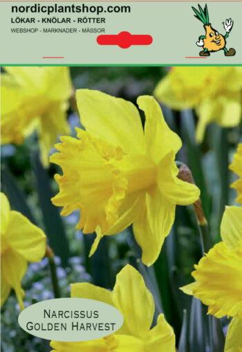 Narcis Golden Harvest