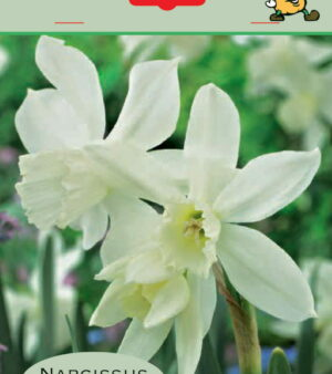 Orkide-narcis Thalia